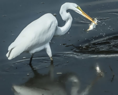 Edwin B. Forsythe Wildlife Refuge great egret catching a small fish in its beak with a splash.