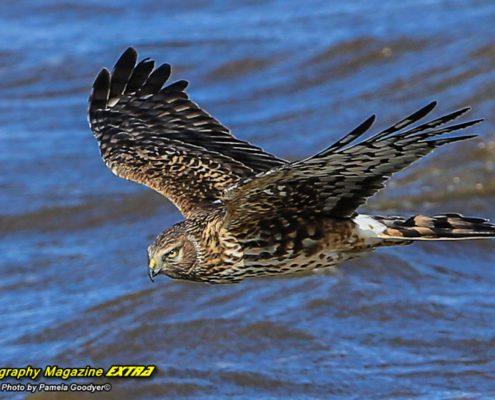 Edwin B. Forsythe Wildlife Refuge hawk flying by over blue waters