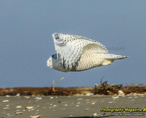 Snowy owl Sandy Hook, N.J. Pamela Goodyer