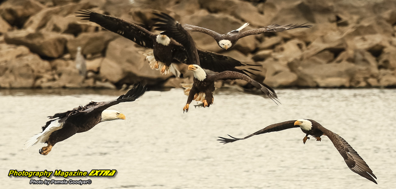 Conowing Dam Maryland Photography five eagles flying with one holding a fish and the others chasing the food.
