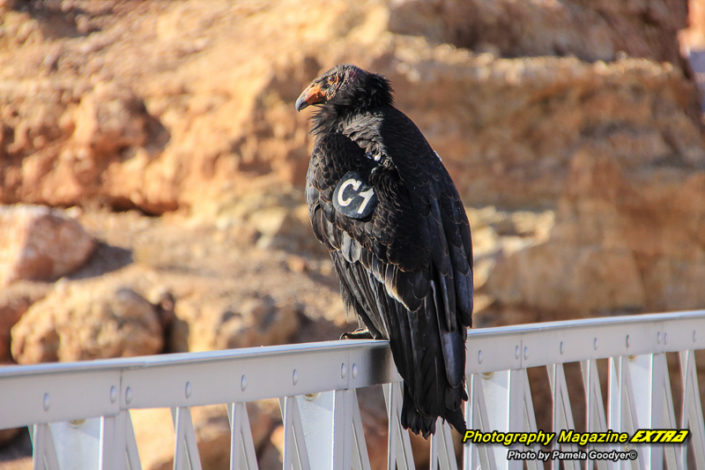 Lee's Ferry Arizona, California Condor on the side of the bridge with a number identifying him