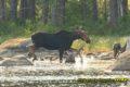Baxter state Park Moose